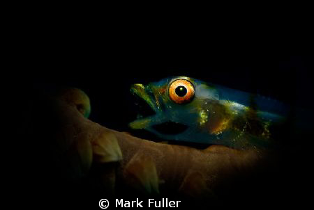 Snooted Goby yawning by Mark Fuller