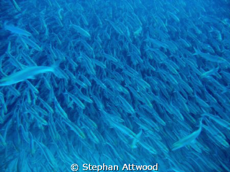 In the Boneyard: Diving in a Bonefish shoal in Mexico - Y... by Stephan Attwood