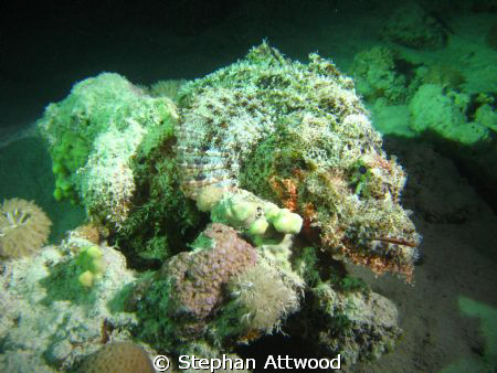Scorpion fish at night in Marsa Shouna Egypt by Stephan Attwood