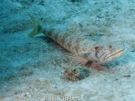 Bluestripe Lizardfish by Rick Thibert