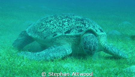 Turtle having lunch by Stephan Attwood