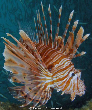 Lamar the Spanish dancing Lionfish was taken on a wreck c... by Bernard Groenewald