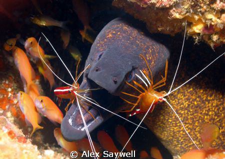 Morning clean for this Moray by Alex Saywell