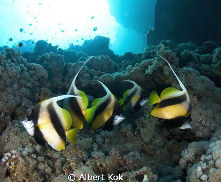 banner fish over a sunlit reef by Albert Kok