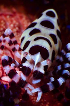 A coleman shrimp on its host fire urchin in Davao, Mindan... by Steve De Neef