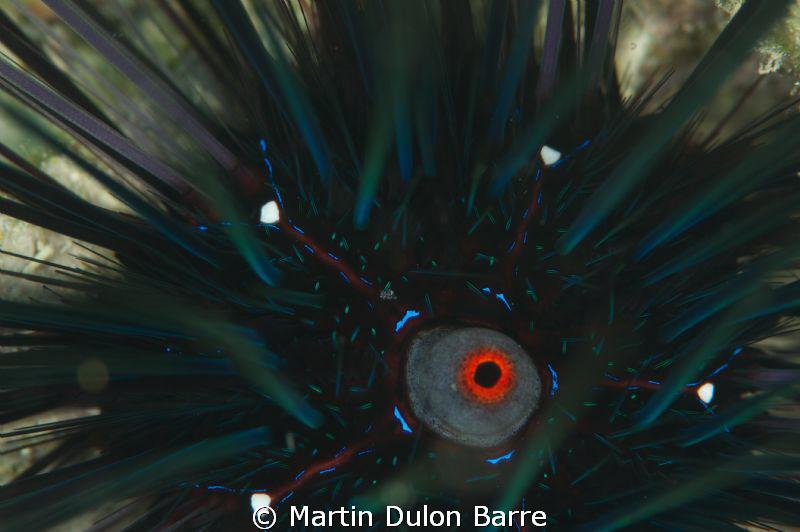 Diadema Sea Urchin D700 105mm+ 2XTC by Martin Dulon Barre