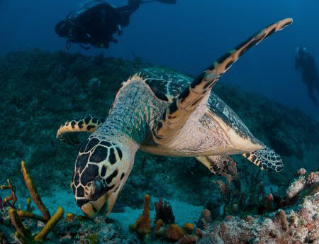 Close up of  Hawskbill Turtle feeding. by Juan Torres