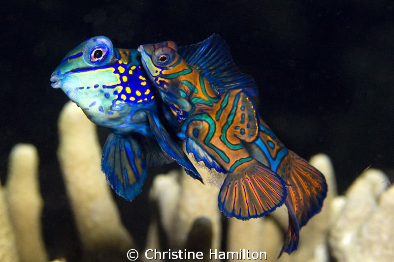 Mandarinfish with 