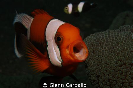 Yawning clownfish by Glenn Carballo
