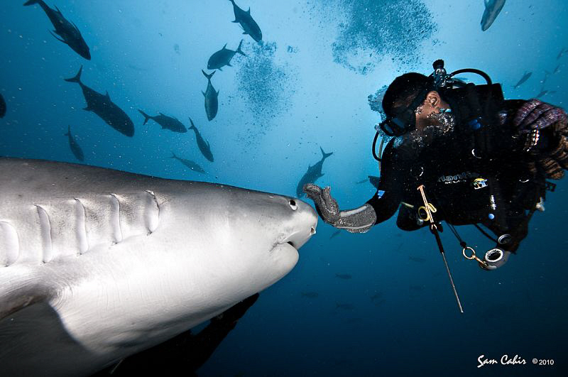 """'Stop!""""  Johna politely asks this tiger shark to stop for... by Sam Cahir"""