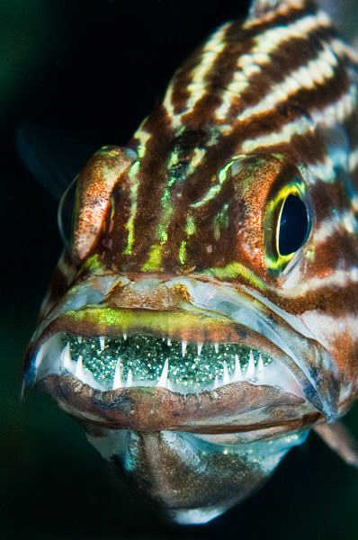 Cardinalfish brooding eggs: 60mm lens with +3 diopter. by Paul Colley