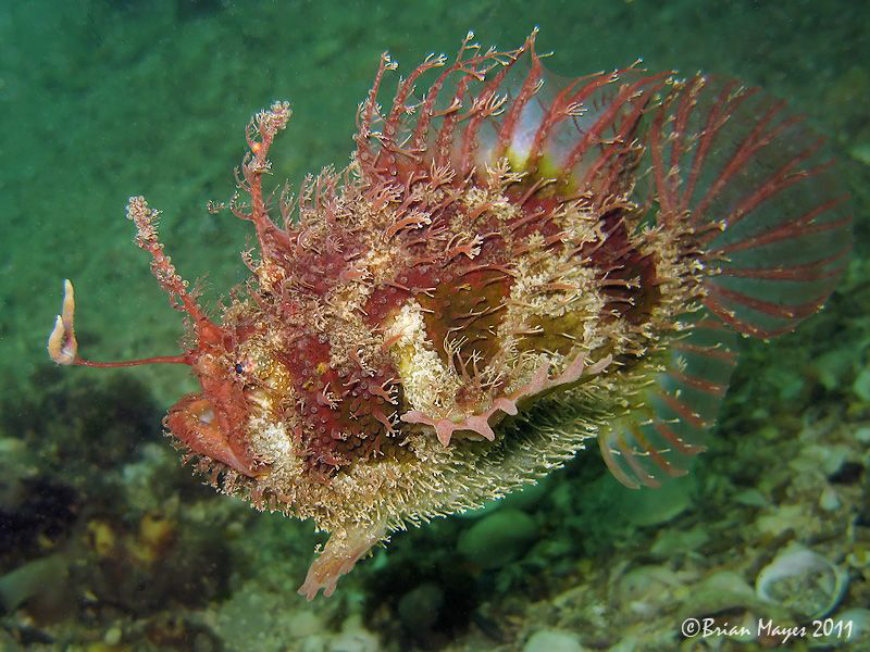 As this Tasselled Anglerfish swims slowly by, it shows of... by Brian Mayes
