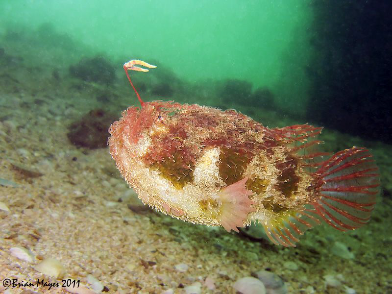 When chased this Tasselled Anglerfish adopts a streamline... by Brian Mayes