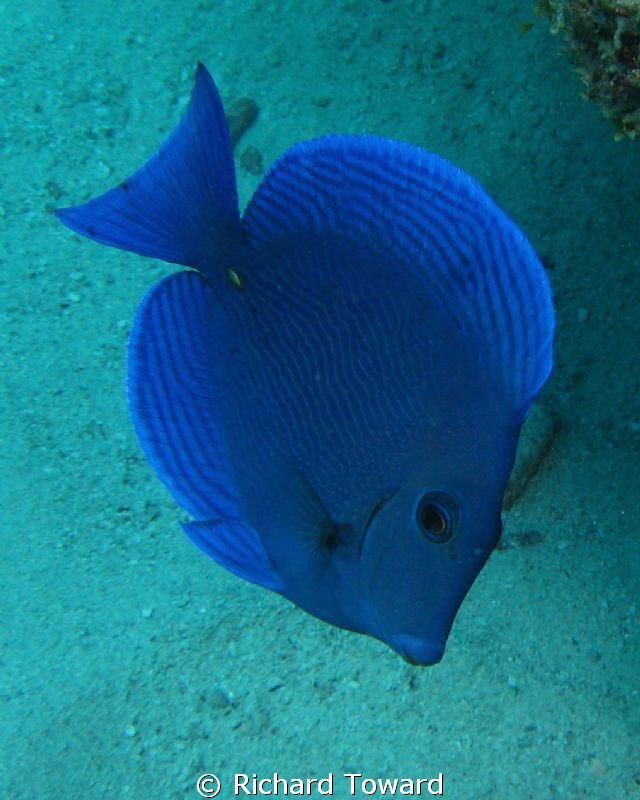 Blue Tang - Just caught the wee guy as he swam past by Richard Toward