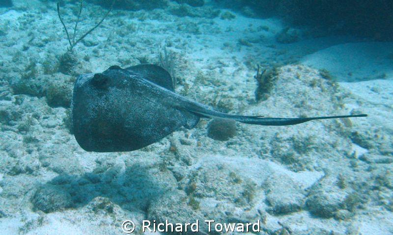 Swimming Stingray by Richard Toward