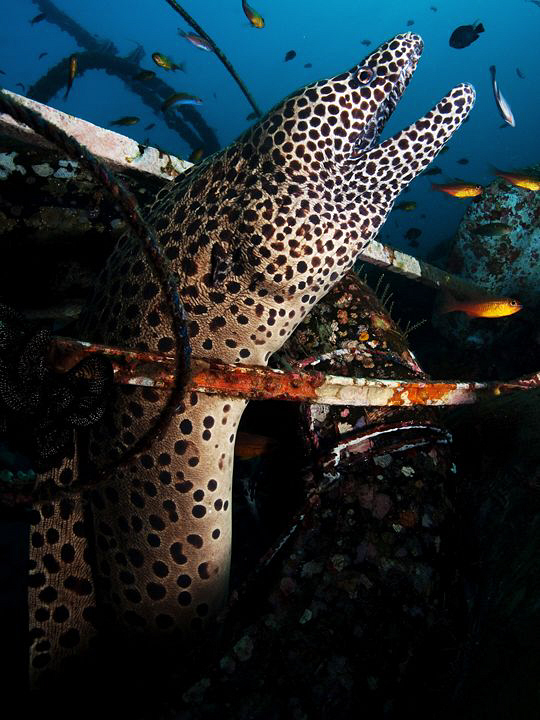 Spotted Moray, Tulamben by Doug Anderson