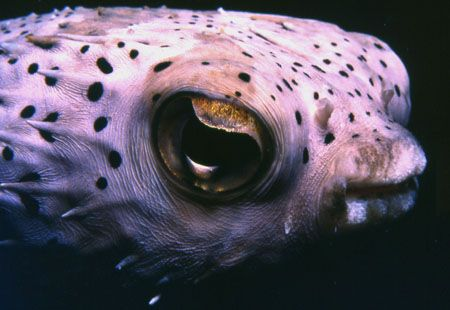 Swam up to this puffer at night in Bon-Aire. by David Spiel