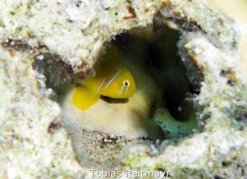 Lemon goby, El Fanadir, Hurghada. Canon EOS 350d, 18-55mm. by Tobias Reitmayr