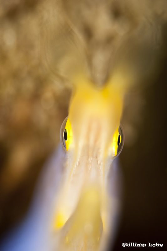 Ribbon Eel by William Loke