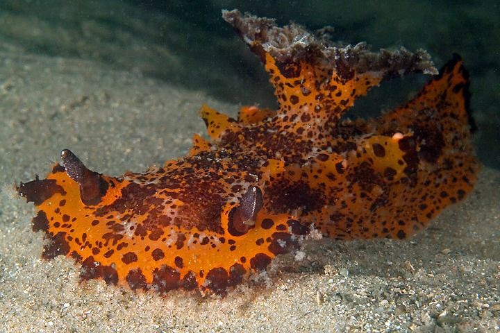 Plocamopherus sp. Chowder Bay, Sydney Harbour. by Doug Anderson