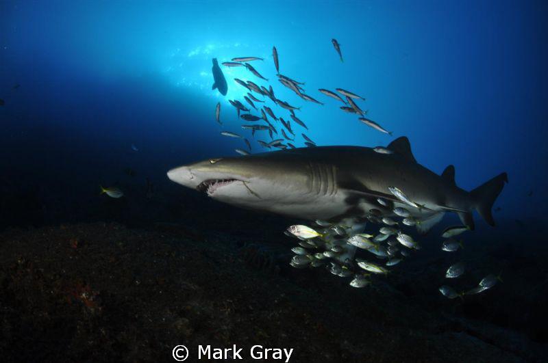 """Mother Ship?"". Grey Nurse Shark at Fish Rock, South West... by Mark Gray"