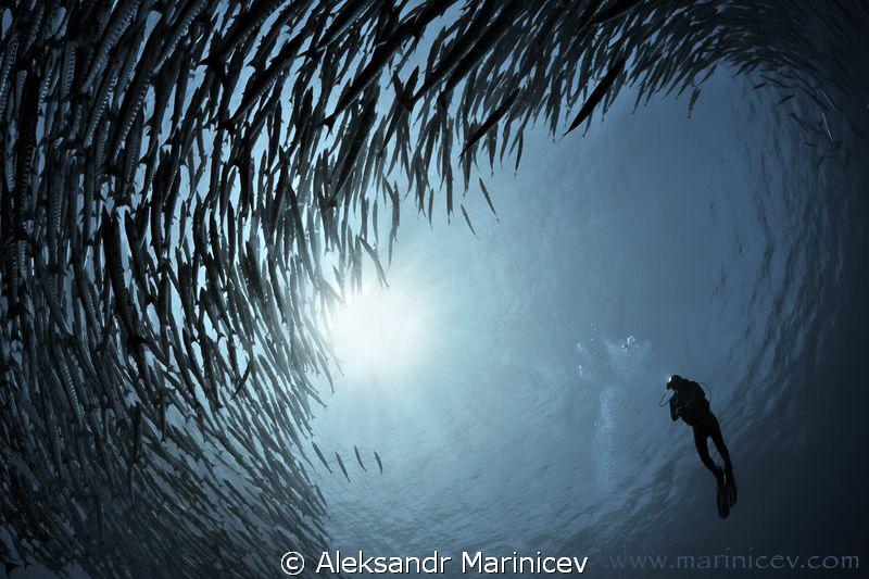 Barracuda School by Aleksandr Marinicev