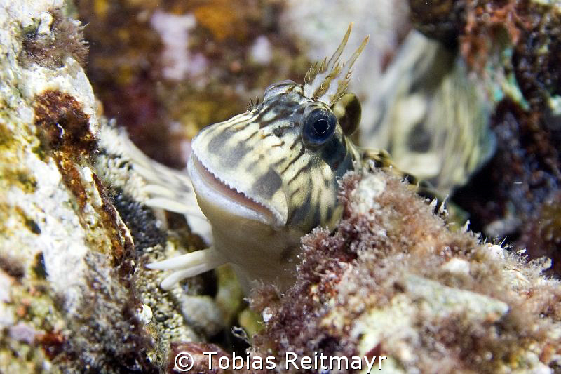 Blenny X in the very shallows, taken snorkeling, Sand Bea... by Tobias Reitmayr