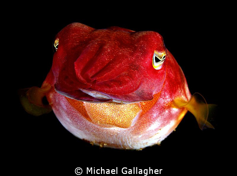 Juvenile Cuttlefish, Byron Bay, Australia by Michael Gallagher