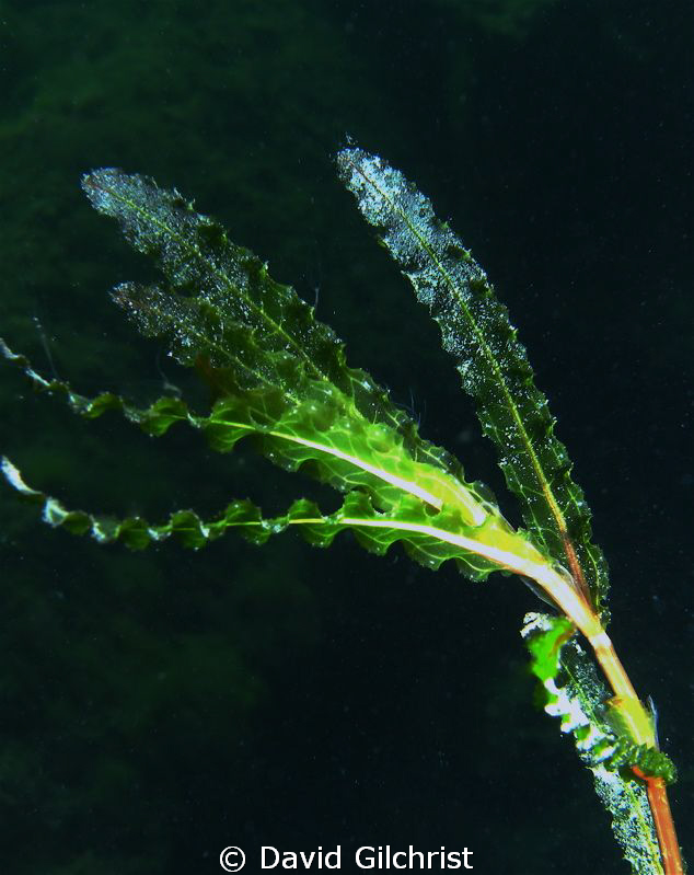Cropped image C/U of Aquatic Plant by David Gilchrist