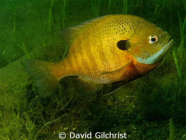 Male Bluegill tending nest in spring. by David Gilchrist