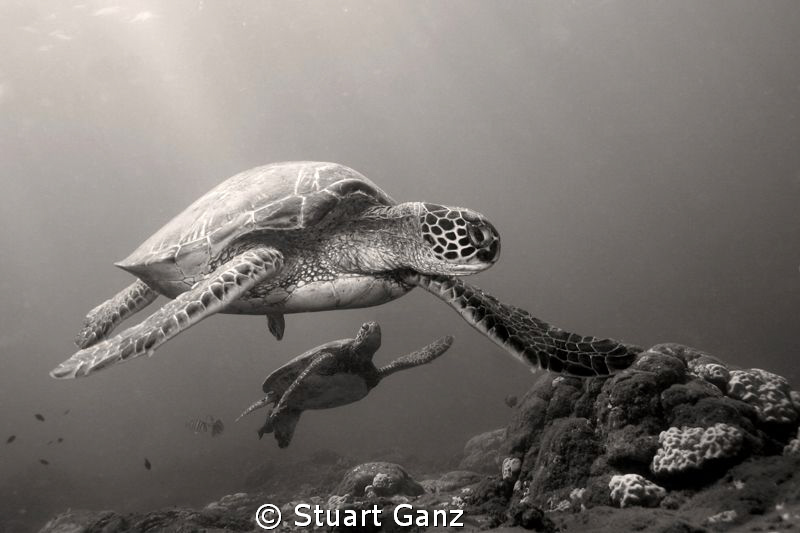 Two Hunu (Green sea turtles) taken at the Haleiwa cleanin... by Stuart Ganz