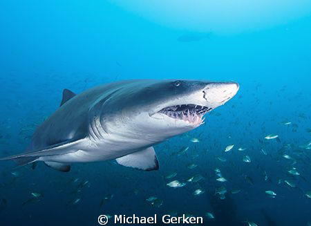 Carcharias Taurus or Sand Tiger Shark; Wreck of the Atlas... by Michael Gerken