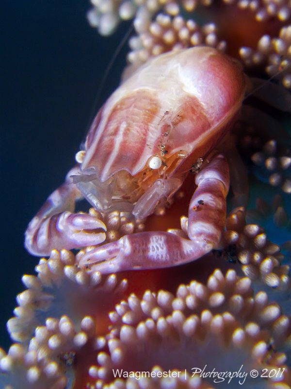Little porcelain crab on a sea pen. Canon G9, D2000, 2xU... by Marco Waagmeester