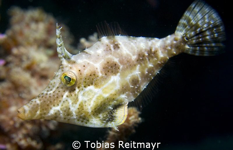 Slender filefish, Diamond Key, Utila by Tobias Reitmayr