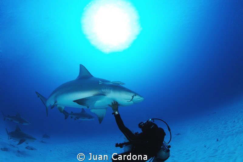 bull shark dive by Juan Cardona