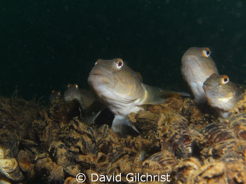 'Goby gang' or 'caught in the act' These round gobies,lik... by David Gilchrist