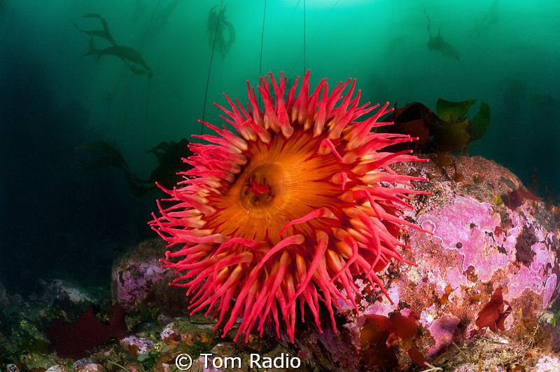 Rose Anemone Puget Sound, WA, U.S.A. by Tom Radio