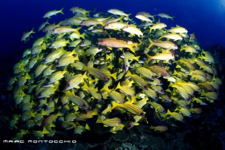 Blue banded snappers, South Africa by Marc Montocchio