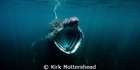 Basking sharks are truly amazing animals. We know so litt... by Kirk Mottershead