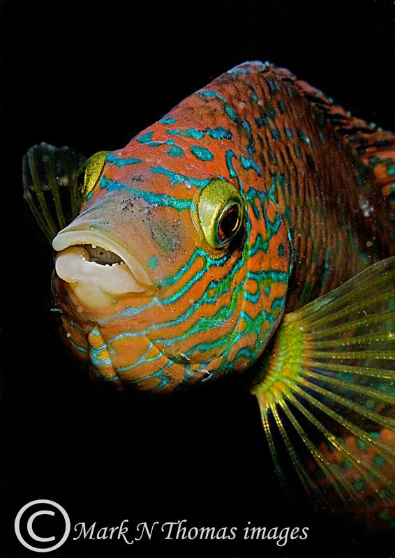 Corkwing wrasse. 60mm. by Mark Thomas
