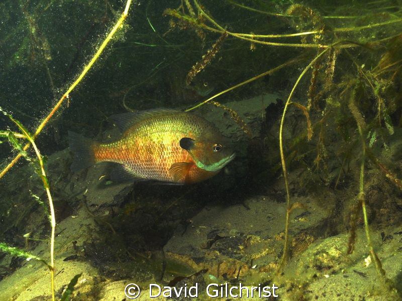 Nesting male Pumpkinseed Sunfish by David Gilchrist