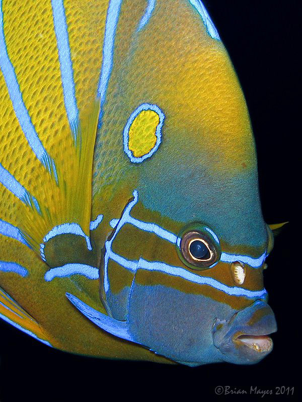 Blue-ringed Angelfish (Pomacanthus annularis) at Terumbu ... by Brian Mayes
