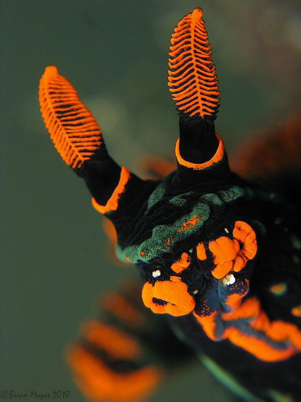 Face of Nembrotha kubaryana by Brian Mayes