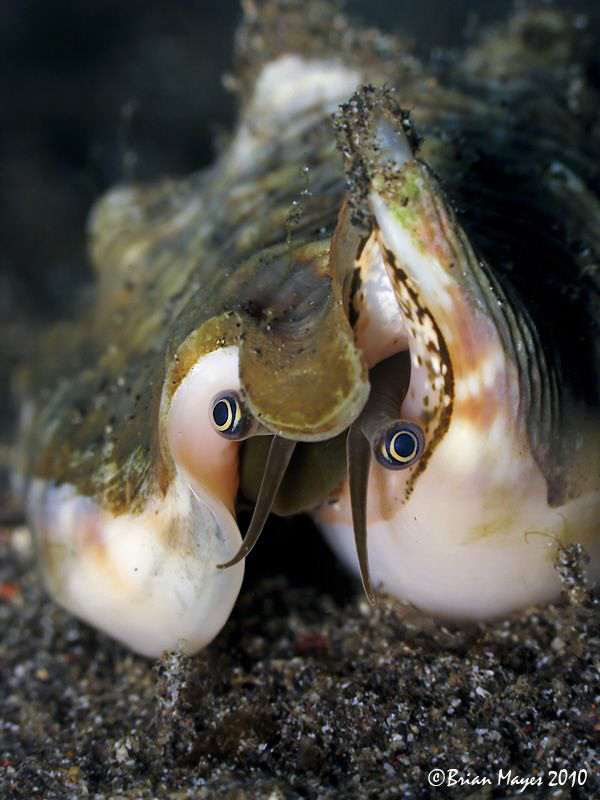 """Peek-a-boo!"".....Strombidae by Brian Mayes"
