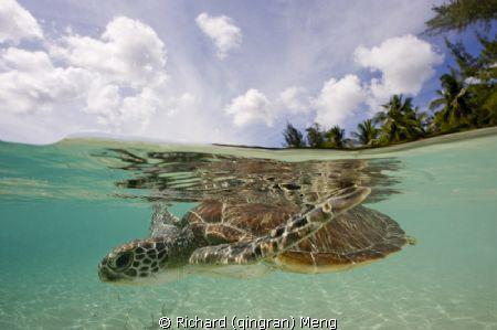 Turtle's Two World / Unlike most of the marine creatures,... by Richard (qingran) Meng 