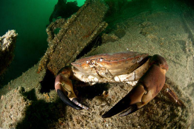 edible crab_Heinrich wreck_Manche by Mathieu Foulquié
