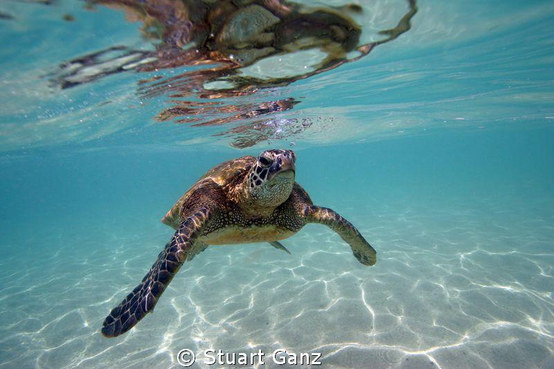 "Green sea turtle ""Honu"" by Stuart Ganz"