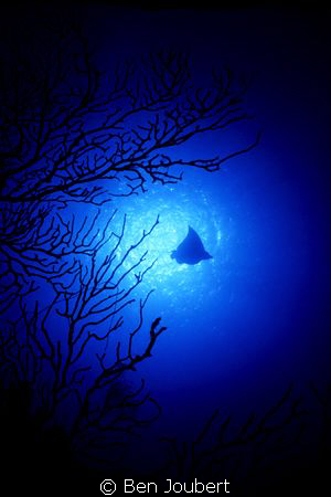 I was doing silhouettes of the fan, when the Eagle Ray ap... by Ben Joubert