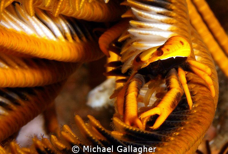 Crinoid Squat Lobster, Komodo by Michael Gallagher
