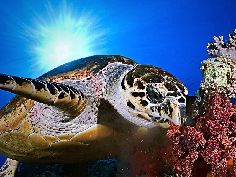 """""""Hawksbill Turtle""""  Hawksbill turtle eating soft corals ... by Henry Jager"""